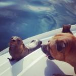 Veras new friend. #baydreamer #babyseal #sailingaroundtheworld #galapagos #sanchristobal #catamaran