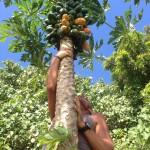 Almost there papaya jungle freshfruit borabora frenchpolynesia sailingbaydreamer